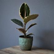 Le Ficus Belga
