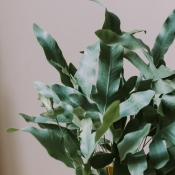Le Phlebodium